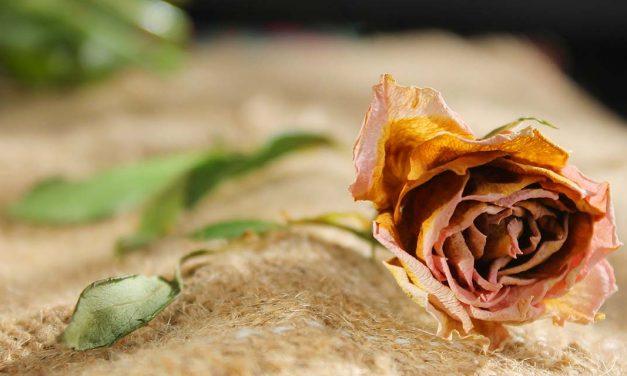 Faded Rose | A Short Story by Kayla Binner
