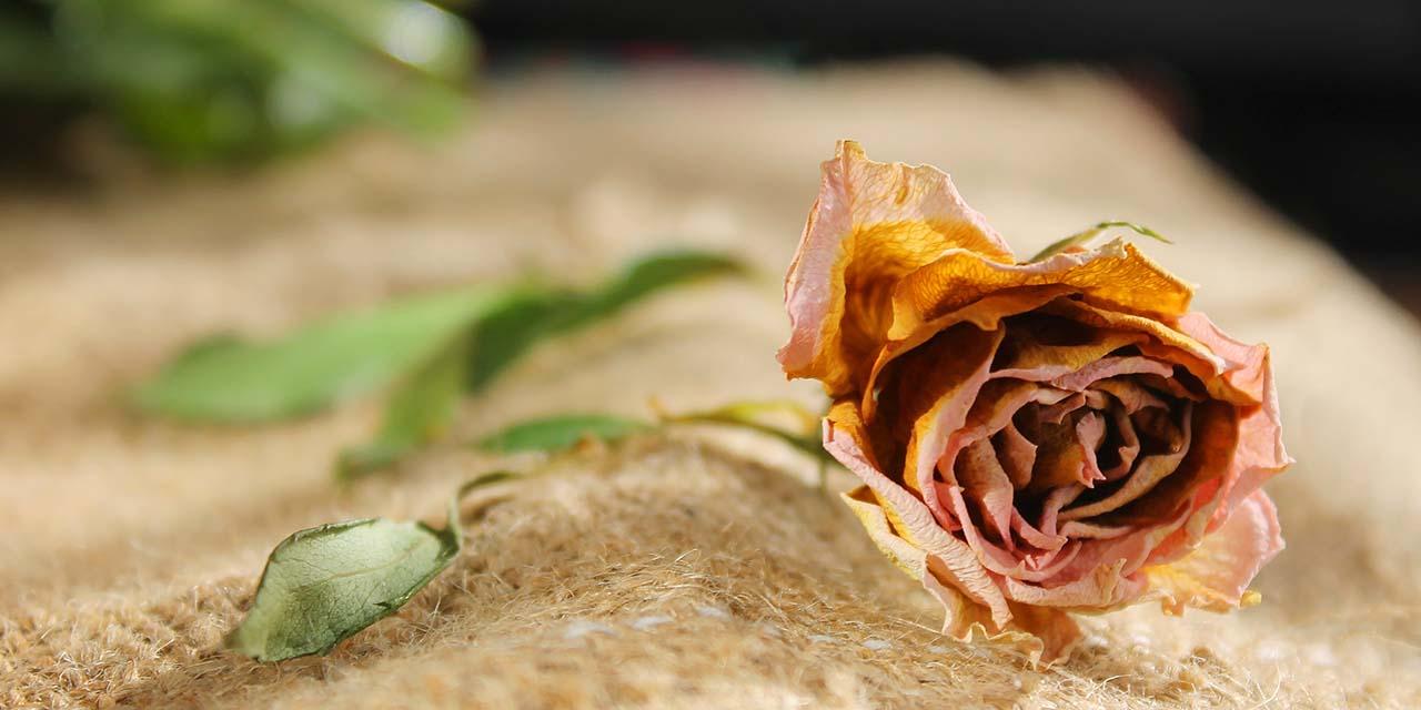 Faded Rose   A Short Story by Kayla Binner